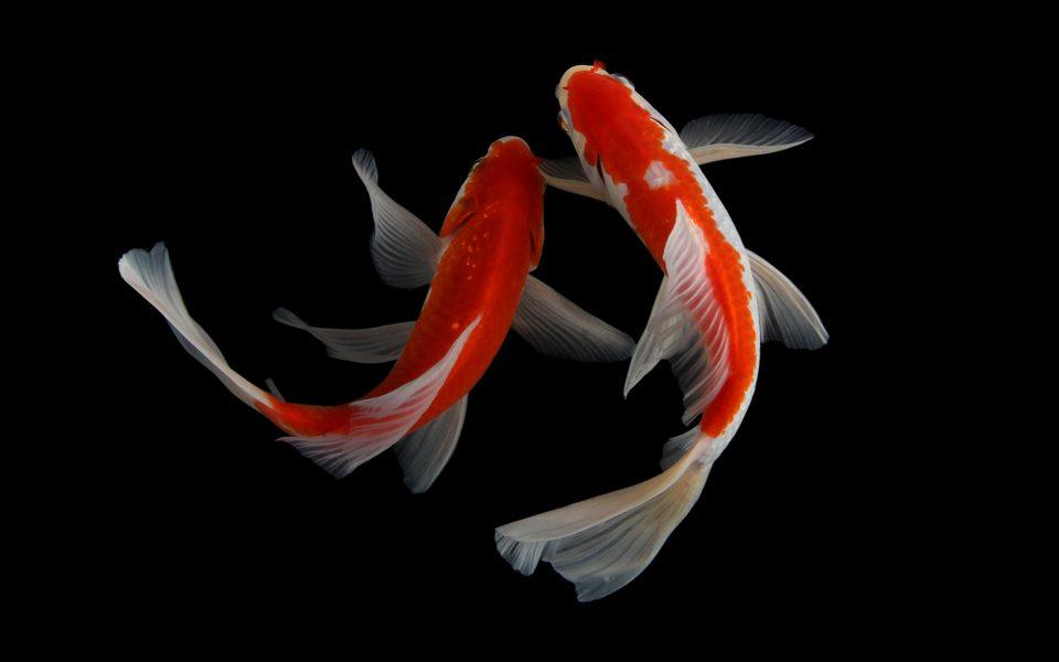 Il pesce più costoso del mondo